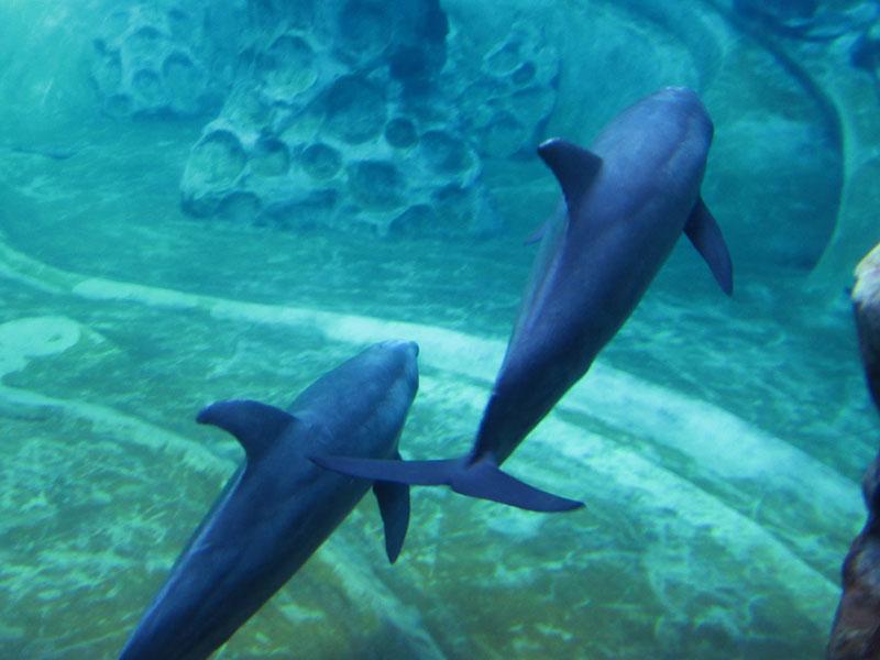 dolphins-georgia-aquarium