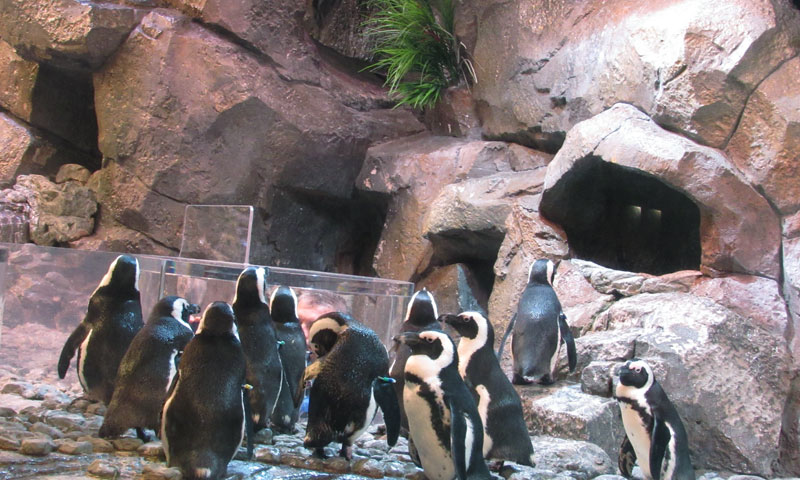 penguins-georgia-aquarium