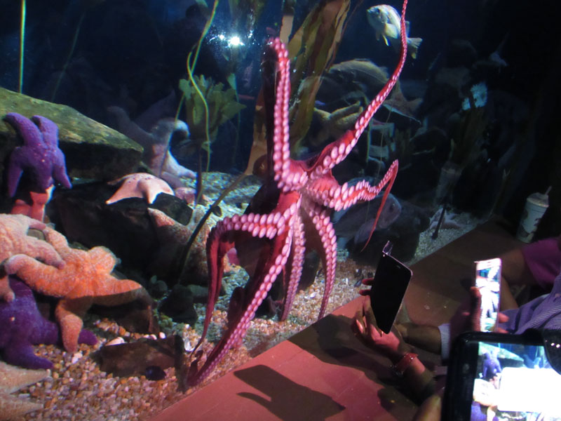 octopus-georgia-aquarium